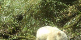Exemplar de panda albino avistado na provincia de Sichuan (China). Fonte. Xinhua.net.