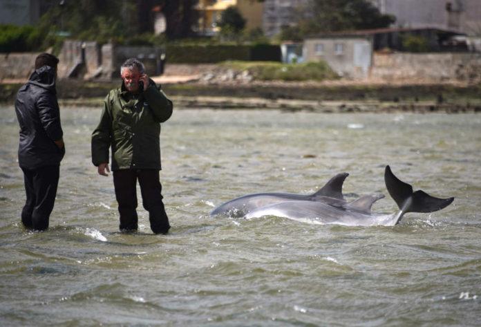 Os arroaces Eunice e Toxeiro, momentos antes de ser rescatados do seu varamento en 2016 preto da illa da Toxa. Foto: Cemma.