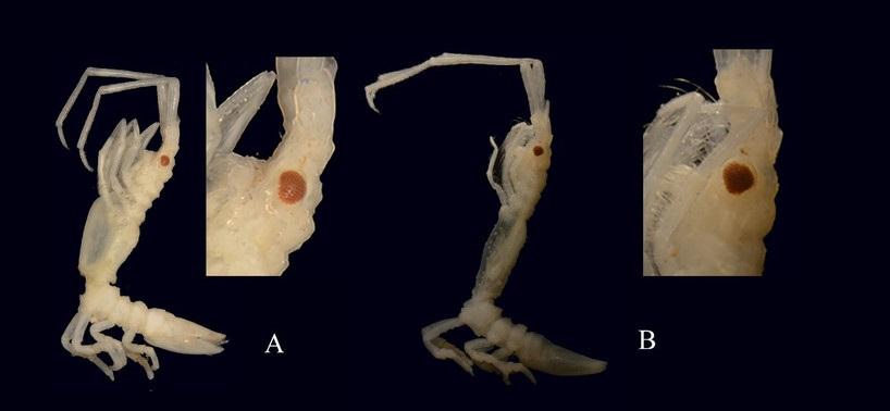 """Astacilla andresmeixidei"". A) femia; b) macho. Fonte: Juan Junoy, UAH."