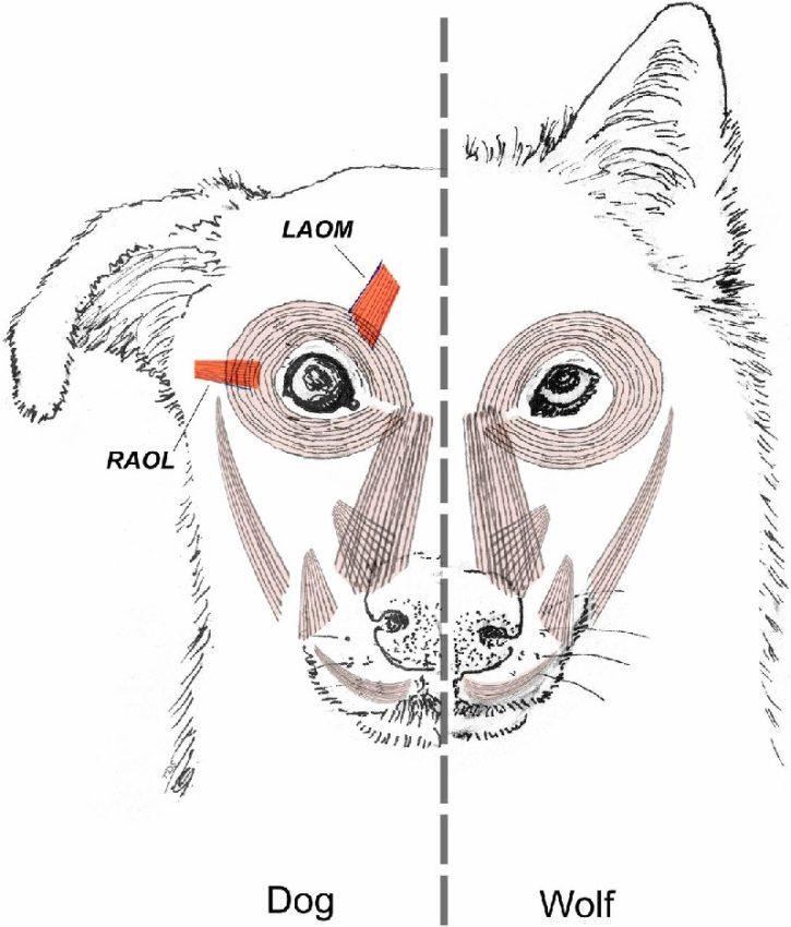 Comparativa da musculatura facial entre o Canis lupus (esquerda) e o Canis familiaris (dereita), coas diferencias subliñadas en vermello. Créditos da imaxe: Tim D. Smith (Cambridge University Press, Cambridge, UK).