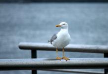 Exemplar de gaivota patiamarela (Larus michahellis) retratado en Ferrol. Fonte: El fosilmaniaco / CC BY-SA 3.0.