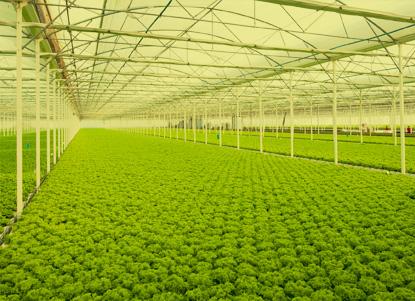 A extensión da plantación de vexetais de folla. Fonte: H2hydroponics