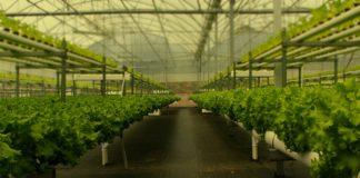 A hidroponía permite a obtención de plantas de maior calidade en menor tempo. Fonte: H2hydroponics.