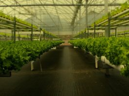 La hidroponía permite la obtención de plantas de mayor calidad en menos tiempo. Foto: H2hydroponics.