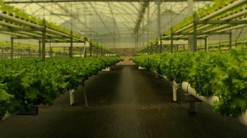 Este cultivo permite a obtención de plantas de maior calidade en menor tempo. Fonte: H2hydroponics