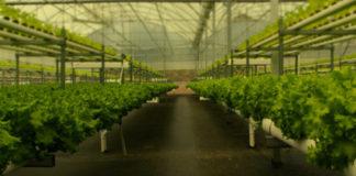 O invernadoiro no que traballa a empresa. Fonte: H2hydroponics