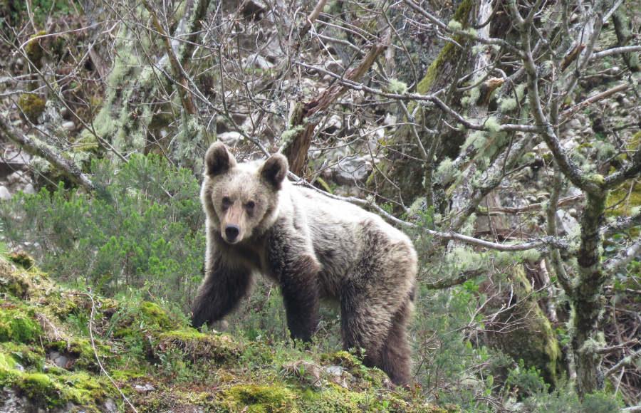 Un oso joven en la Cordillera Cantábrica. Foto cedida por Fundación Oso Pardo.