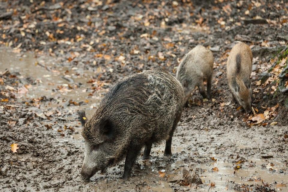 O xabaril é un dos principais vectores de transmisión da peste porcina africana.