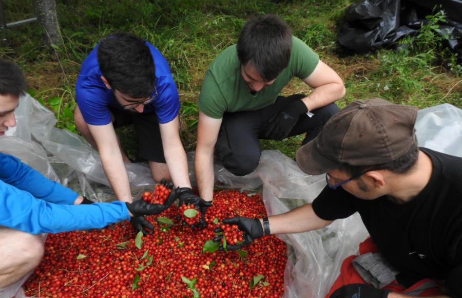 Recogida de semilla de cereza. Foto cedida por la Fundación Oso Pardo.