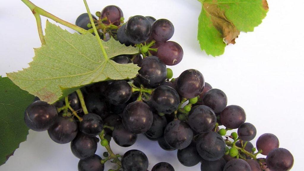 O resveratrol é un composto de orixe vexetal que acada a súa maior concentración na pel da uva negra e en froitos vermellos. Foto: Duvi.