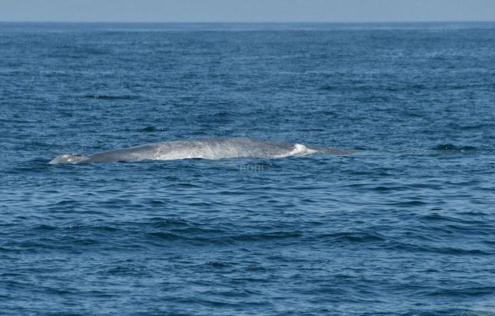A balea azul localizada este domingo a unhas millas das Illas Cíes. Foto: BDRI.