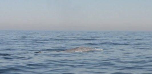 Fotograma do vídeo no que o BDRI captou o regreso da balea azul a Galicia. Fonte: BDRI.