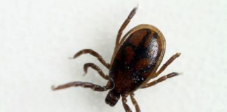 """Exemplar de """"Ixodes Ricinus"""", a especie das carrachas que actúa en maior medida como vector da borreliose e outras doenzas."""