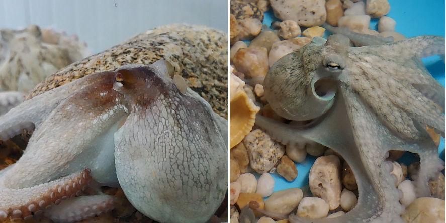 Fases do crecemento dos polbos nacidos o ano pasado en catividade: Á esquerda, polbo con 195 días de idade, no paso de xuvenil á adulto; á dereita, polbo xuvenil, con 150 días de idade. Fonte: Pescanova.