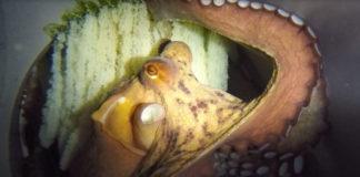 Imaxe histórica: os ovos das primeiras crías de polbo nacido en acuicultura. Fonte: Pescanova.