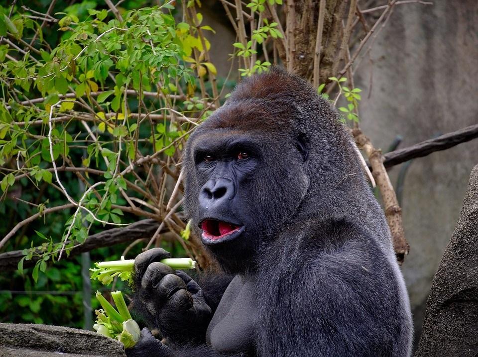 Un gorila adulto pode chegar aos 200 quilos de peso, pero o seu pene non supera os cinco centímetros.