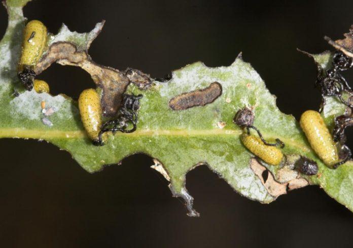 Larvas de gurgullo en eucaliptos dunha das parcelas nas que se levou a cabo o estudo. Foto: Duvi.