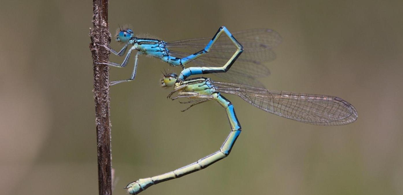 Dous exemplares da especie 'Coenagrion scitulum', fotografados en Corrubedo. Foto: Duvi.