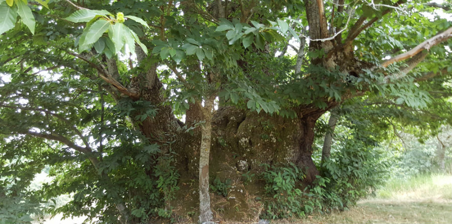 Exemplar situado en Pexeiros (Os Blancos, Ourense), un dos castiñeiros estudados no traballo. Foto cedida por Santiago Pereira.