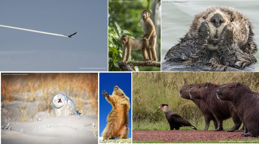 Varias das imaxes finalistas do Comedy Wildlife 2019.