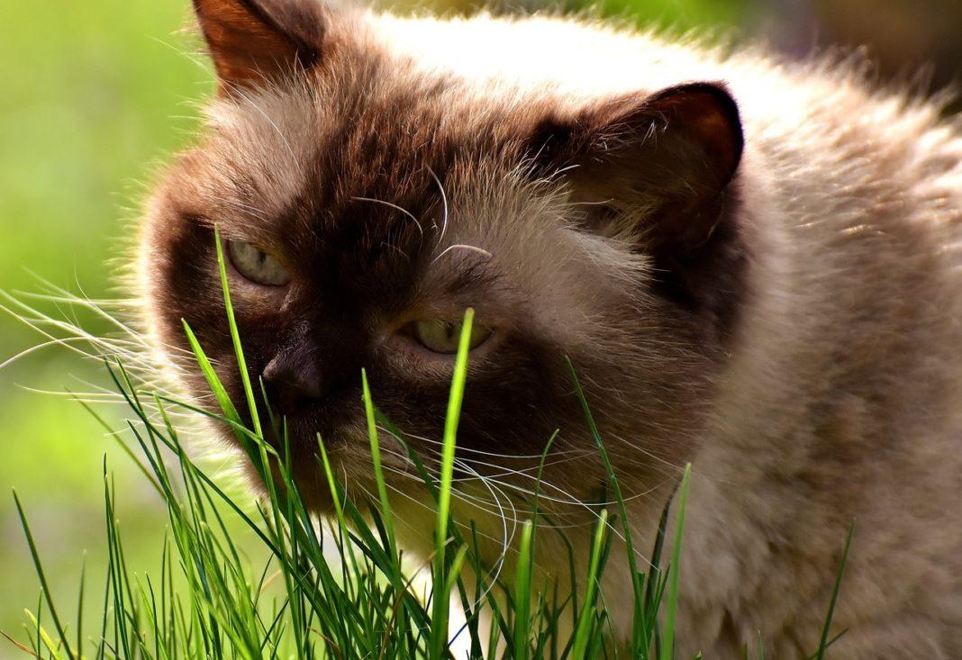 Existe a crenza de que os gatos comen herba cando están enfermos para purgarse, pero non hai evidencia científica sobre isto.