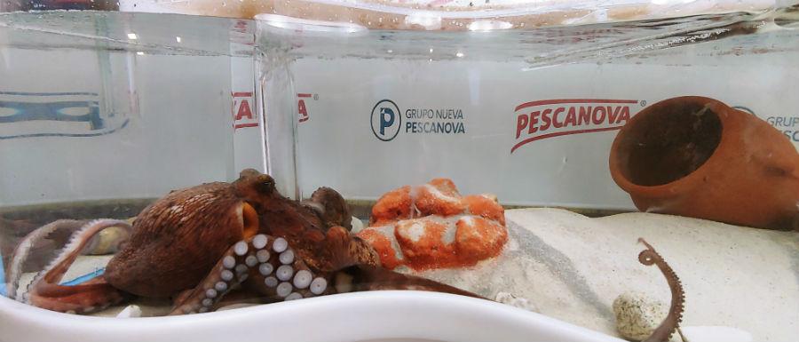 A femia Lourditas, despois da posta de ovos. Fonte: Pescanova.