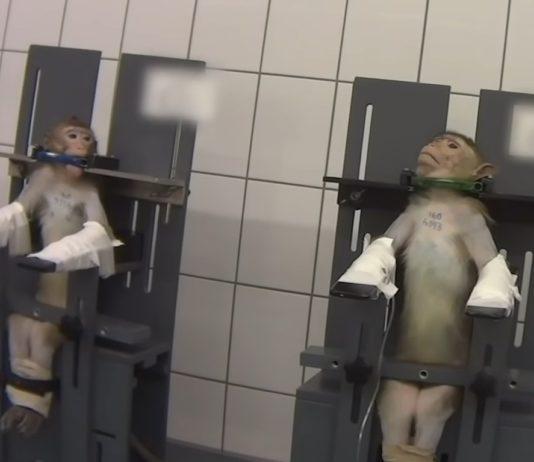Unha das imaxes dos monos do laboratorio. Fonte: Cruelty Free International.