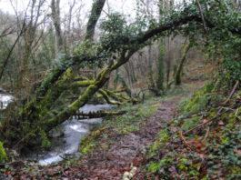 Os amieiros son unha peza clave nos bosques de ribeira. Foto: R. Pan.