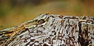As hormigas desprázanse sen aparente dificultade a pesar de que se movan en densidades altas.