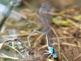 Investigadores de cinco países participaron neste estudo centrado nas libélulas do xénero 'Nesobasis'. Foto: Duvi.