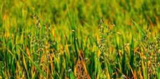 O control das malas herbas é clave na conservación da biodiversidade e na xestión das especies invasoras.
