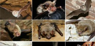 Os nove morcegos ameazados en Galicia.