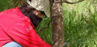 Traballo de campo de estudo dos piñeiros. Fonte: CSIC.