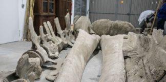 A restauración completa é complicada para unha balea de 25 metros, como a almacenada en Santiago. Foto: Museo de Historia Natural.