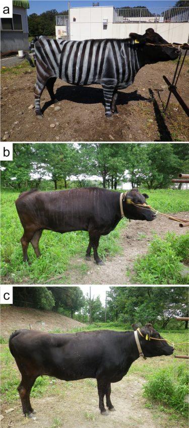 As vacas foron pintadas de branco e negro, e outras sen pintar usáronse como control. Fonte: PlosONE / Kojima et al..