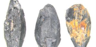 Grans de cebada (Hordeum tetrastichum) do castro de Punta do Muíño do Vento (Alcabre, Vigo) (Teira Brión 2019).