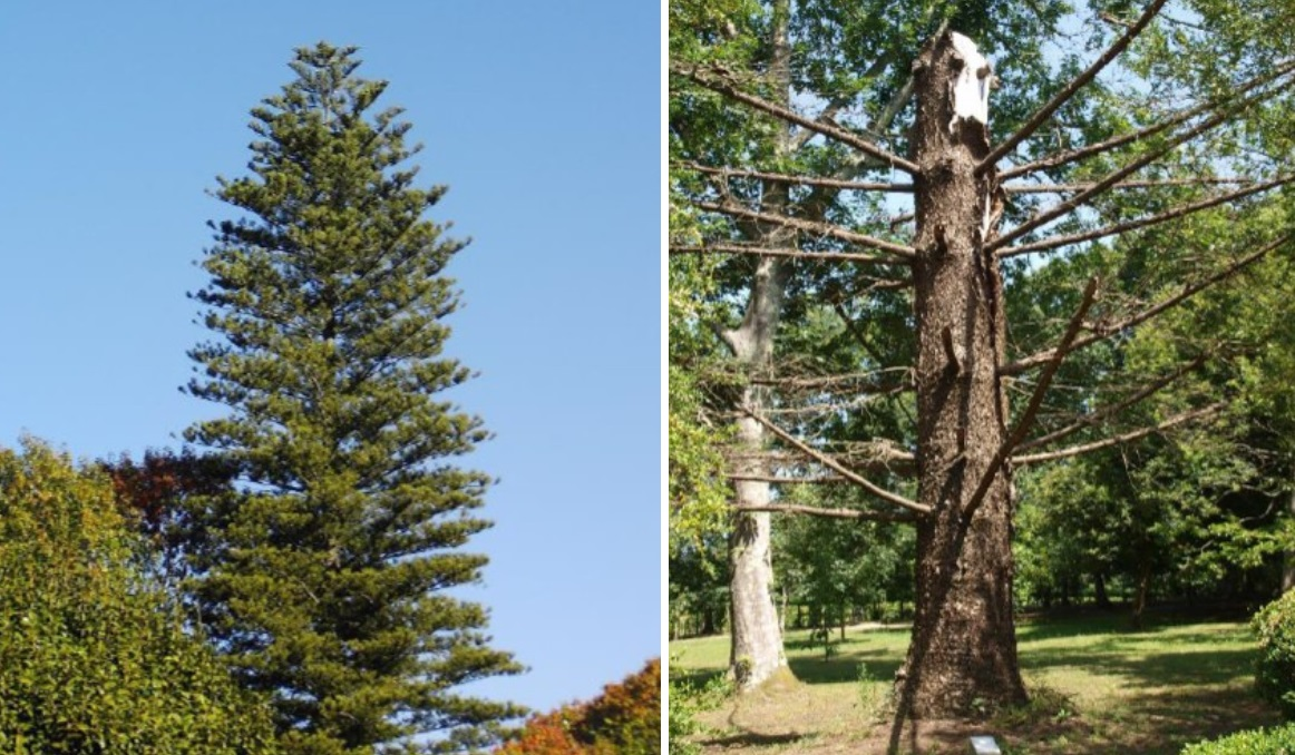 Araucaria en 2011 (esquerda) e 2018. Fotos: Gaspar Bernárdez Villegas.