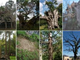 Estas oito árbores senlleiras son algunhas das que se caeron do catálogo debido á perda dos valores que levaran á súa inclusión.