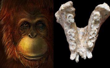 """Representación artística da cara dun """"Gigantopithecus"""" e mandíbula usada na investigación. Créditos: Ikumi Kayama / Wei Wang, edición de Theis Jensen."""