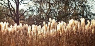 A herba da Pampa xa invade toda a área atlántica e cantábrica, desde Francia ata Portugal.