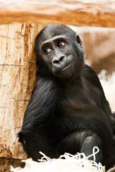 O sapiens é o único homínido que non está en perigo de extinción.