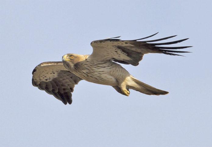 Exemplar de aguia calzada, especie á que pertence o individuo abatido en Oleiros. Fonte. Juan Cruz / CC BY-SA 4.0.