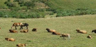 Gando cabalar e vacún, nunha paraxe de Asturias. Foto: USC.
