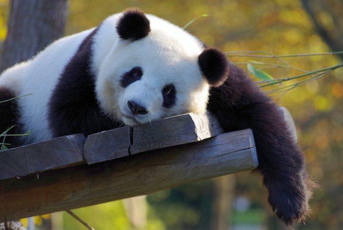 Os ósos fósiles atopados en Teruel pertencen a un parente devanceiro do actual oso panda.
