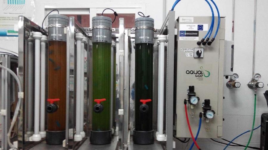 Cultivo en laboratorio en fotobiorreactores de cinco litros de capacidade. Foto: Duvi.
