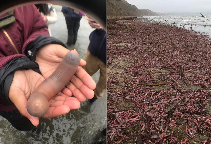 Os vermes-pene apareceron na zona de Point Reyes, ao norte de San Francisco. Fonte: Bay Nature.