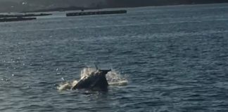 Secuencia do vídeo no que aparecen os arroaces e o golfiño. Fonte: Francisco Redondo/BDRI.