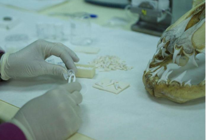 O biomaterial está feito a partir de dentes de tiburón procedentes de descartes de pesca. Foto: Duvi.