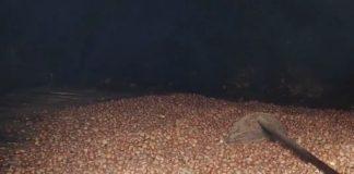 Castañas no sequeiro, esperando para a pisa. Foto: R. Pan.