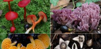 Catro exemplos de especies de fungos presentes en Cortegada. Fotos: Saúl de la Peña.